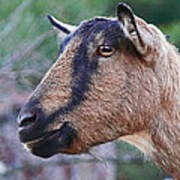Goat In Profile Poster