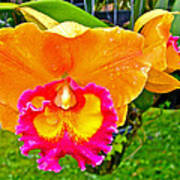 Gold And Pink Orchid At Maerim Orchid Farm In Chiang Mai-thailan Poster