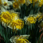 Gold Daffodil Poster