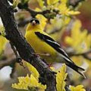 Gold Finch Gold Leaves Poster