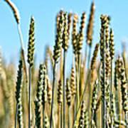 Gold Harvest Blue Sky Poster