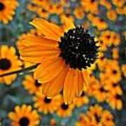 Gold Rudbeckia Blooms Poster