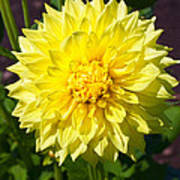 Gold Waterlily Dahlia Poster