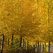 Golden Aspens Poster by Don Schwartz
