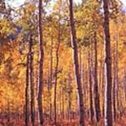 Golden Aspens Of Owl Creek Pass In Southern Colorado Poster
