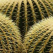 golden barrel cactus Mexico Poster