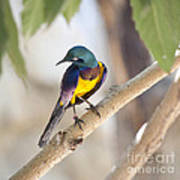 Golden-breasted Starling Poster