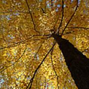 Golden Canopy Poster