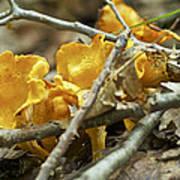 Golden Chanterelle - Cantharellus Cibarius Poster