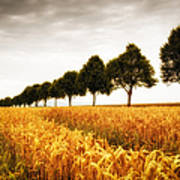 Golden Cornfield And Row Of Trees Poster