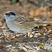 Golden-crowned Sparrow Poster