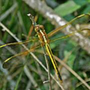 Golden Dragonfly At Rest Poster