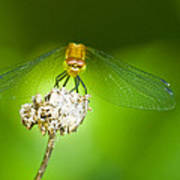 Golden Dragonfly On Perch Poster