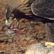 Golden Eagle Eats Poster