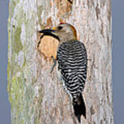 Golden-fronted Woodpecker Poster