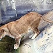 Golden Fur Lioness Poster