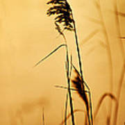 Golden Grain Silhouette Poster