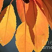 Golden Leaves With Golden Sunshine Shining Through Them Poster