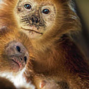 Golden Lion Tamarin Mother And Baby Poster