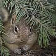 Golden Mantled Ground Squirrel    Callospermophilus Lateralis Poster