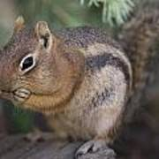 Golden Mantled Squirrel  Callospermophilus Lateralis Poster