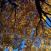 Golden Maple 8 Poster