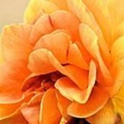Golden Peach Rose Poster
