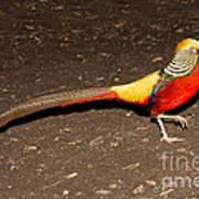 Golden Pheasant Male Poster