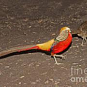 Golden Pheasant Pair Poster