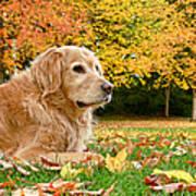 Golden Retriever Dog Autumn Day Poster