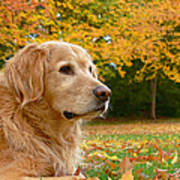 Golden Retriever Dog Autumn Leaves Poster by Jennie Marie Schell