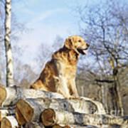 Golden Retriever Dog On Logs Poster