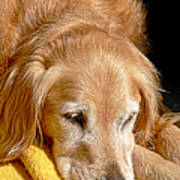 Golden Retriever Dog On The Yellow Blanket Poster