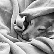 Golden Retriever Dog Under The Blanket Poster