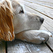 Golden Retriever Dog Waiting Poster