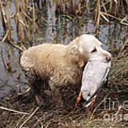 Golden Retriever Dog With Mallard Duck Poster