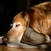 Golden Retriever Dog With Master's Slipper Poster