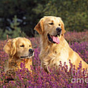 Golden Retriever Dogs In Heather Poster
