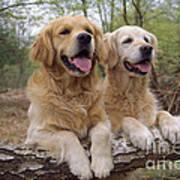 Golden Retriever Dogs Poster