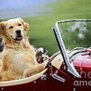 Golden Retriever In Car Poster