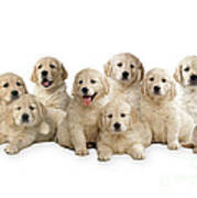 Golden Retriever Puppies, In A Line Poster