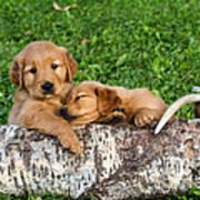 Golden Retriever Puppies Poster