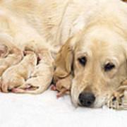 Golden Retriever Puppies Suckling Poster