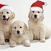 Golden Retriever Puppies With Christmas Poster