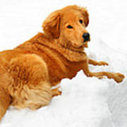 Golden Retriever Snowball Poster by Christina Rollo