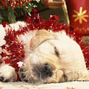 Golden Retriever Under Christmas Tree Poster