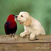 Golden Retriever With Grand Eclectus Poster