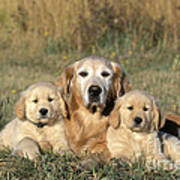 Golden Retriever With Puppies Poster