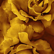 Golden Yellow Roses Poster
