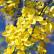 Golden Shower Tree - Cassia Fistula - Kula Maui Hawaii Poster